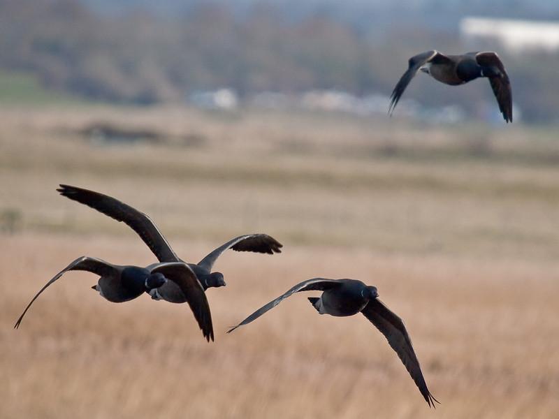 Brent Goose (Branta leucopsis). Copyright Peter Drury 2010<br /> Flying over Farlington Marshes