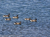 03 February 2011. Brent geese at the north of the oysterbed site.  Copyright Peter Drury 2011