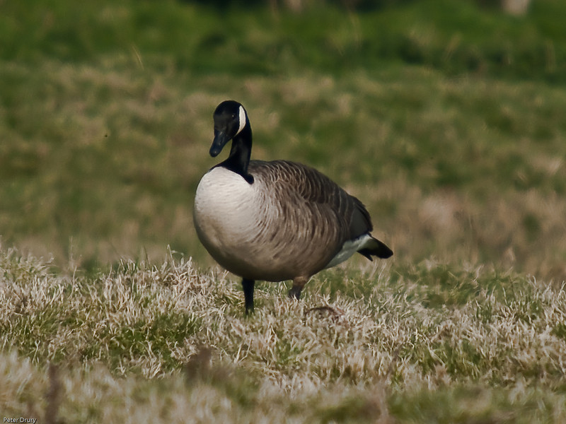 Canada Goose (Branta canadensis). Copyright 2009 Peter Drury<br /> At high tide, this bird is foraging for food on the meadows in Farlington Marshes.<br /> Farlington Marshes, Langstone Harbour