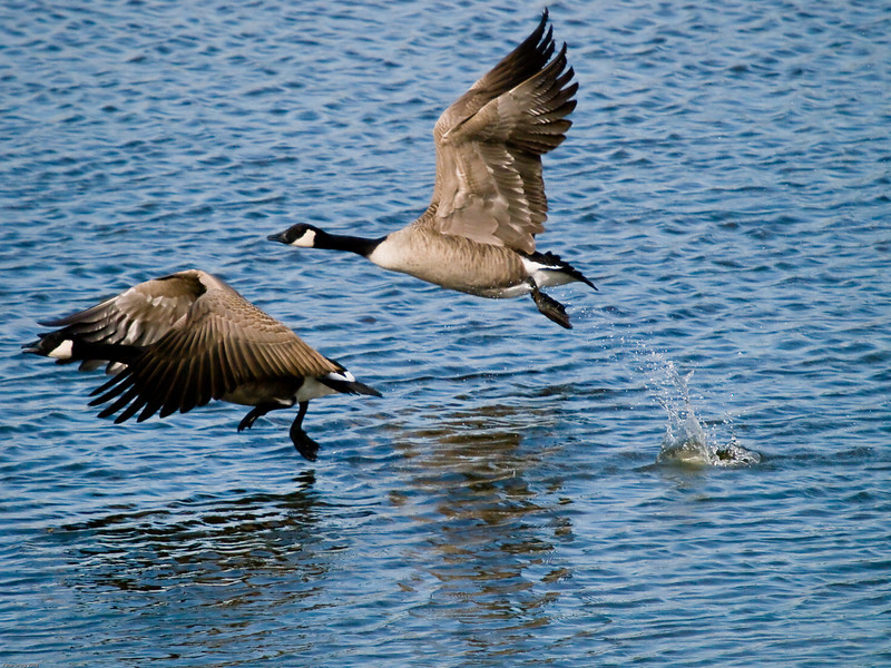 Canada Goose (Branta canadensis). Copyright 2009 Peter Drury<br /> One image from a frame depicting take off. The take off is achieved by strong wing beats supported by a rowing action by the legs. See how the webbed feet are cupped to gain maximum thrust. The bird to the rear has by now achieved sufficient height and speed to gain free flight and its legs are being brought back to its body in the flight position.<br /> Budds Farm Lagoon, Southmoor, Langstone Harbour.