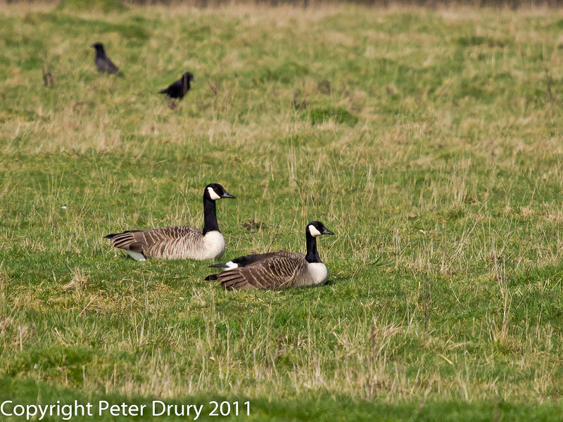 04 March 2011. Canada Goose at Southmoor. Copyright Peter Drury 2011