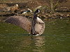01 May 2011. Canada Goose at Poole Park. Copyright Peter Drury 2011