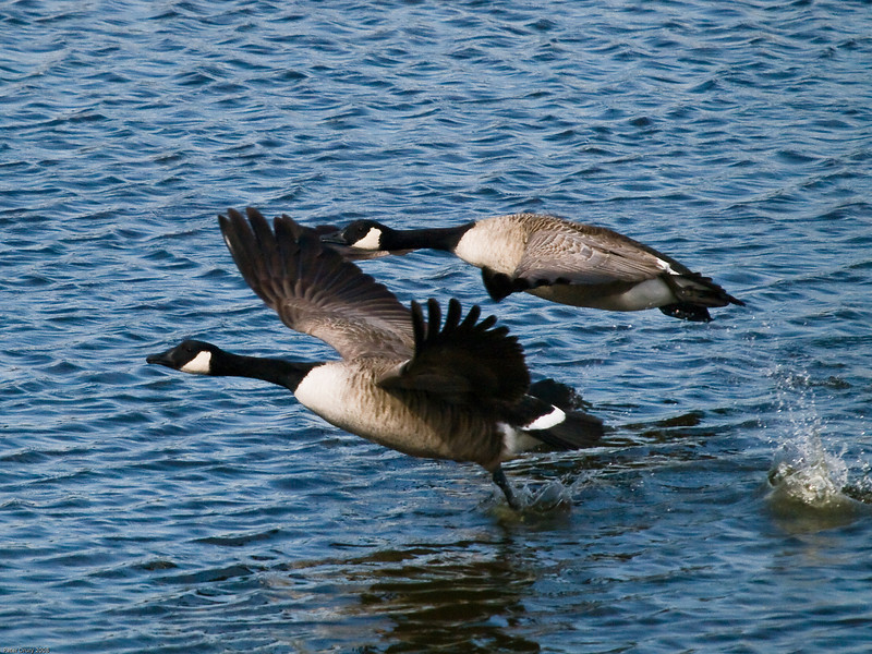 Canada Goose (Branta canadensis). Copyright 2009 Peter Drury<br /> The next shot of the sequence showing the rear bird has fully achieved flying configuration and the front bird has now taken its last plunge with the legs.<br /> Budds Farm Lagoon, Southmoor, Langstone Harbour.