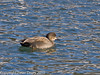 Gadwall? at Broadmarsh. Copyright Peter Drury 2010