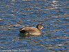 18 December 2010. Gadwall at Hermitage Stream.  Copyright Peter Drury 2011