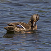 25 May 2011. Mallard at Milton Common, Langstone Harbour shoreline. Copyright Peter Drury 2011