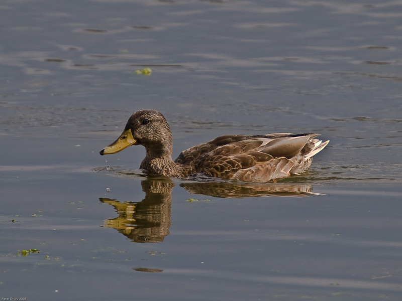 Gadwall (Anas strepera). Copyright Peter Drury 2009<br /> Male in eclipse plumage