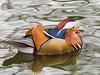05 Jan 2011. Mandarin Duck at Keydell Nursery. Copyright Peter Drury 2011<br /> Olympus E5 + Sigma 50-500. ISO 1600, f7.1, Exp 1/125, Focal length 208mm.