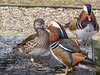 Two male and a female Mandarin Ducks at Birdworld, Farnham. The second male is clearly left out in the cold.