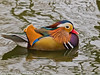 Mandarin Duck at Keydell. Copyright Peter Drury 2011<br /> Olympus E5 + Sigma 50-500. ISO 1600, f7.1, Exp 1/60, Focal length 192mm.