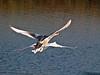Mute Swan (Cygnus Alor)<br /> Budds Farm, Southmoor, Langstone Harbour.