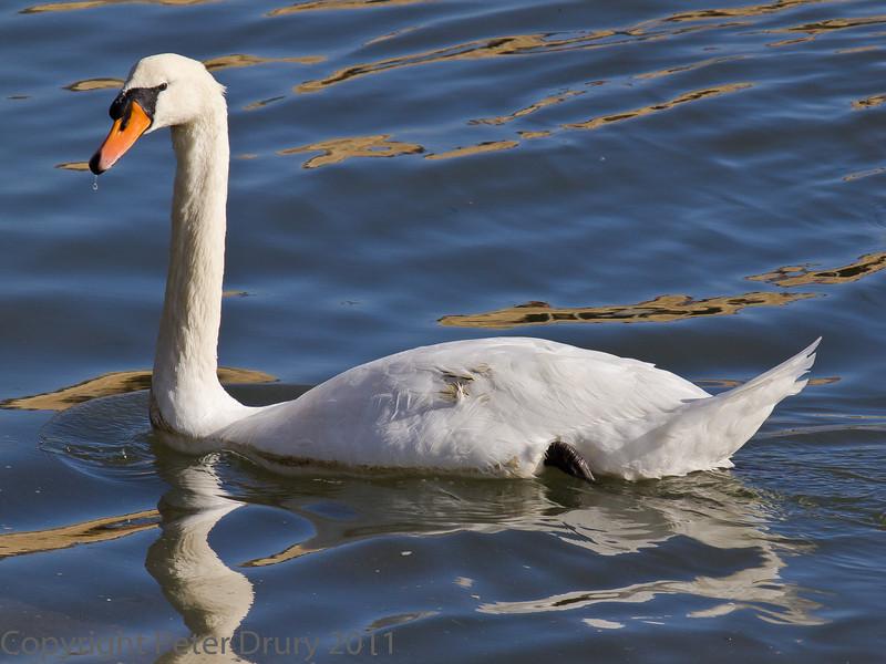 18 Oct 2011 Mute Swan at Broadmarsh.