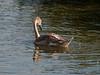 Mute Swan (Cygnus olor). Copyright 2009 Peter Drury<br /> Budds Farm, Southmoor