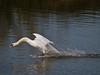 Mute Swan (Cygnus olor). Copyright 2009 Peter Drury<br /> Skidding to land.<br /> Hermitage stream estuary into Langstone Harbour.