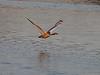Mute Swan (Cygnus olor). Copyright 2009 Peter Drury