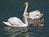 Mute Swan (Cygnus olor). Copyright 2009 Peter Drury<br /> The swan family at Mill Stream, Langstone Harbour