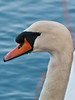 Mute Swan (Cygnus olor). Copyright Peter Drury 2010