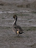 Pintail (Anas acuta). Copyright 2009 Peter Drury<br /> Langstone Harbour