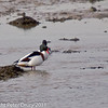 27 February 2011. Shelduck on the mud flats next to the oysterbeds. Copyright Peter Drury 2011