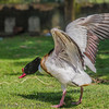 Shelduck at Birdworld, Farnham
