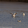 12 Dec 2010 - Shelduck at Farlington Marshes. Copyright Peter Drury 2010. From RAW file