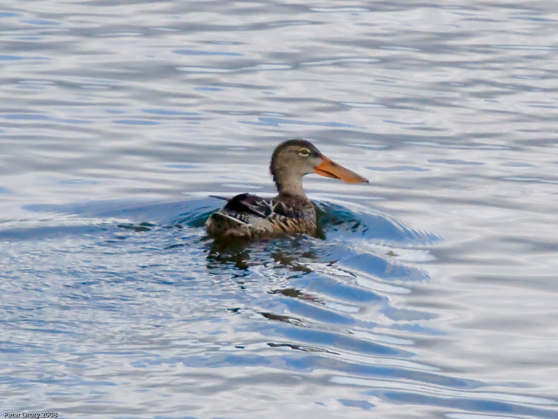 Shoveler (Anas clypeata). Copyright 2009 Peter Drury<br /> Budds Farm Lagoon, Southmoor, Langstone Harbour