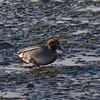 Teal (Annas crecca). Copyright 2009 Peter Drury<br /> Male trudging through the mud at Langstone Harbour
