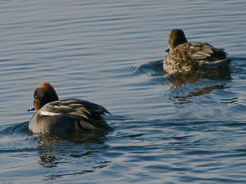 Teal (Annas crecca). Copyright 2009 Peter Drury<br /> Male (left) and female (right) swimming in Langstone Harbour