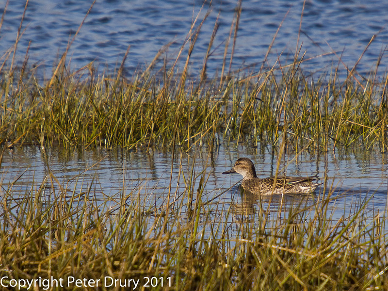 03 February 2011. Female Teal in the reeds on the shoreline.  Copyright Peter Drury 2011