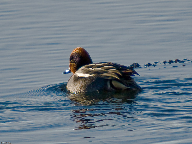 Teal (Annas crecca). Copyright 2009 Peter Drury<br /> Male swimming in Langstone Harbour at high tide.