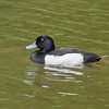 Tufted Duck (Aythya fuligula) male. Copyright Peter Drury 2010