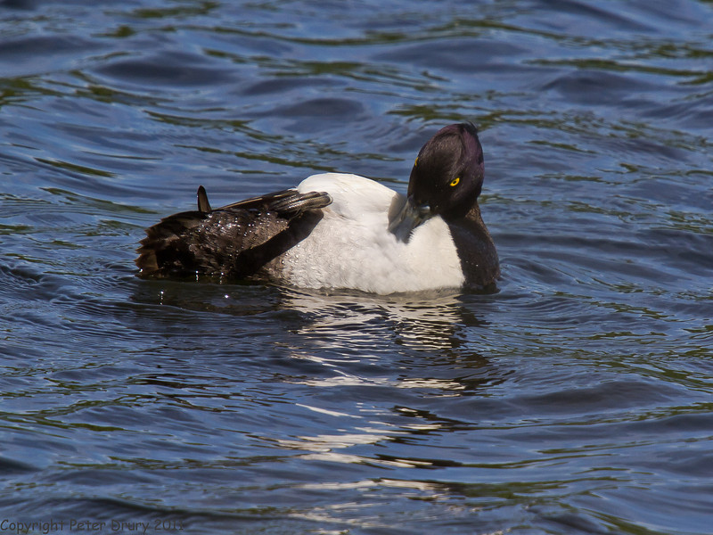 25 May 2011. Tufted Duck at Milton Common, Langstone Harbour shoreline. Copyright Peter Drury 2011