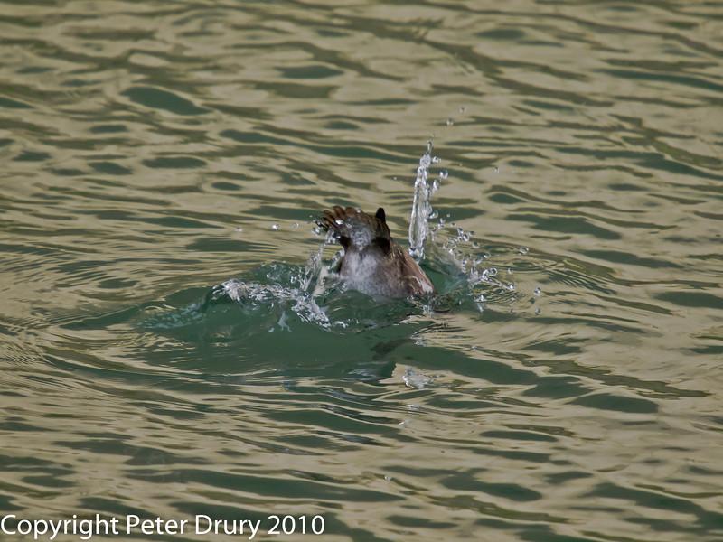 26 Dec 2010. Tufted Duck (female) at Broadmarsh, Langstone Harbour. Copyright Peter Drury 2010