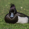 Male Tufted Duck at Birdworld, Farnham