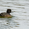 27 March 2015 Female Tufted Duck