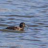 Female Tufted Duck at Milton Common
