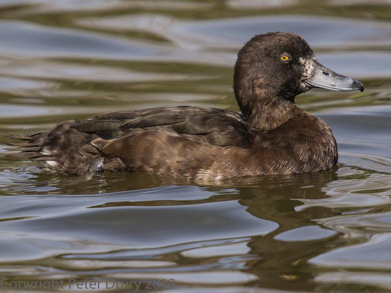 Female Tufted Duck at Birdworld, Farnham