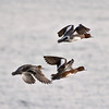 Widgeon (Anas penelope). Copyright 2009 Peter Drury<br /> Two males leading with the female behind.