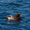 Widgeon (Anas penelope). Copyright 2009 Peter Drury<br /> Langstone Harbour
