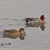 26 Dec 2010. Widgeon at Broadmarsh, Langstone Harbour. Copyright Peter Drury 2010