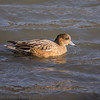 02 Feb 2012. Widgeon feeding on the shoreline at Broadmarsh.