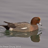 26 Dec 2010. Widgeon (male) at Broadmarsh, Langstone Harbour. Copyright Peter Drury 2010