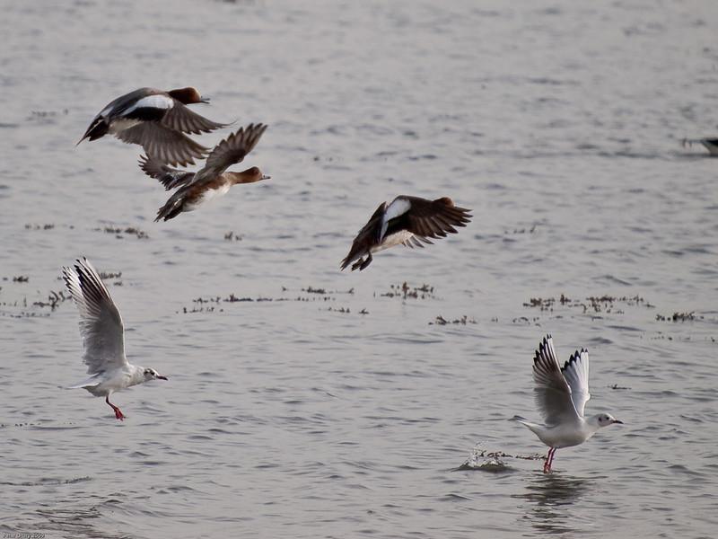 Widgeon and Black-headed gulls. Copyright 2009 Peter Drury