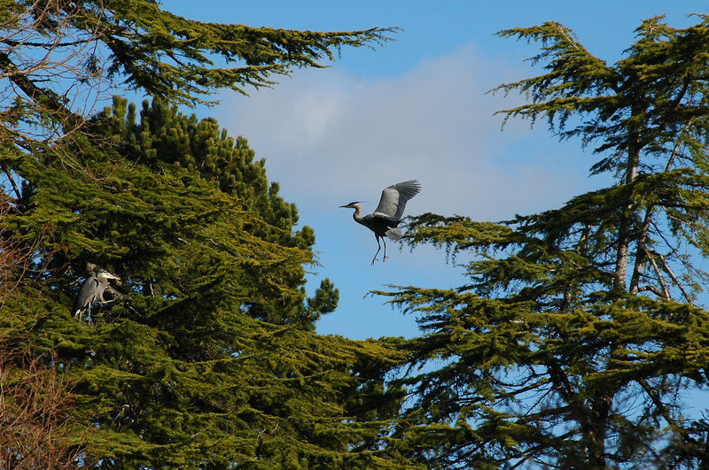 A great blue heron leaps from one tree to the next at a heronry<br /> <br /> Professional Wildlife Photography by Christina Craft of the Nature Stock Photography Library
