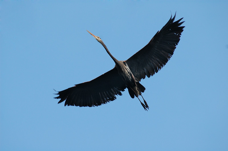 Great blue heron with spread wings in flight <br /> <br /> Professional Wildlife Photography by Christina Craft of the Nature Stock Photography Library
