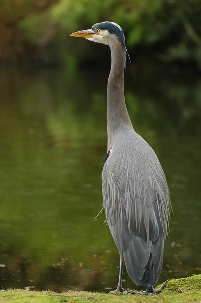 A great blue heron sits on the bank of a lake<br /> Professional Wildlife Photography by Christina Craft of the Nature Stock Photography Library