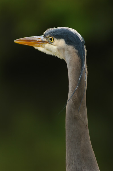 Great blue heron - portrait of its profile<br /> Professional Wildlife Photography by Christina Craft of the Nature Stock Photography Library
