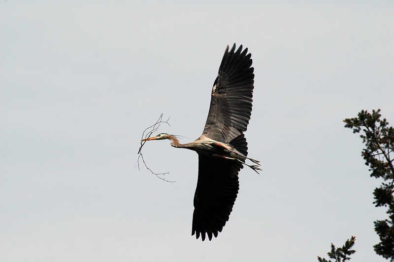 great blue heron buildling a nest - Nature Stock Image by Professional Nature Photographer Christina Craft