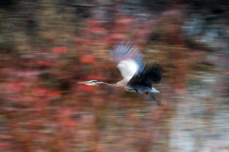 Great blue heron in flight - motion blur panning<br /> Professional Wildlife Photography by Christina Craft of the Nature Stock Photography Library