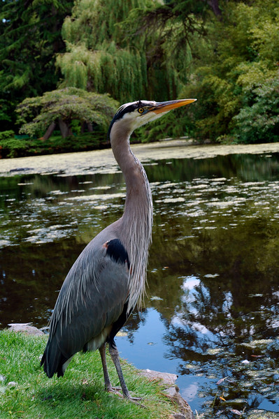 Great blue heron in a city park <br /> <br /> Professional Nature Photography by Christina Craft of the Nature Stock Photography Library